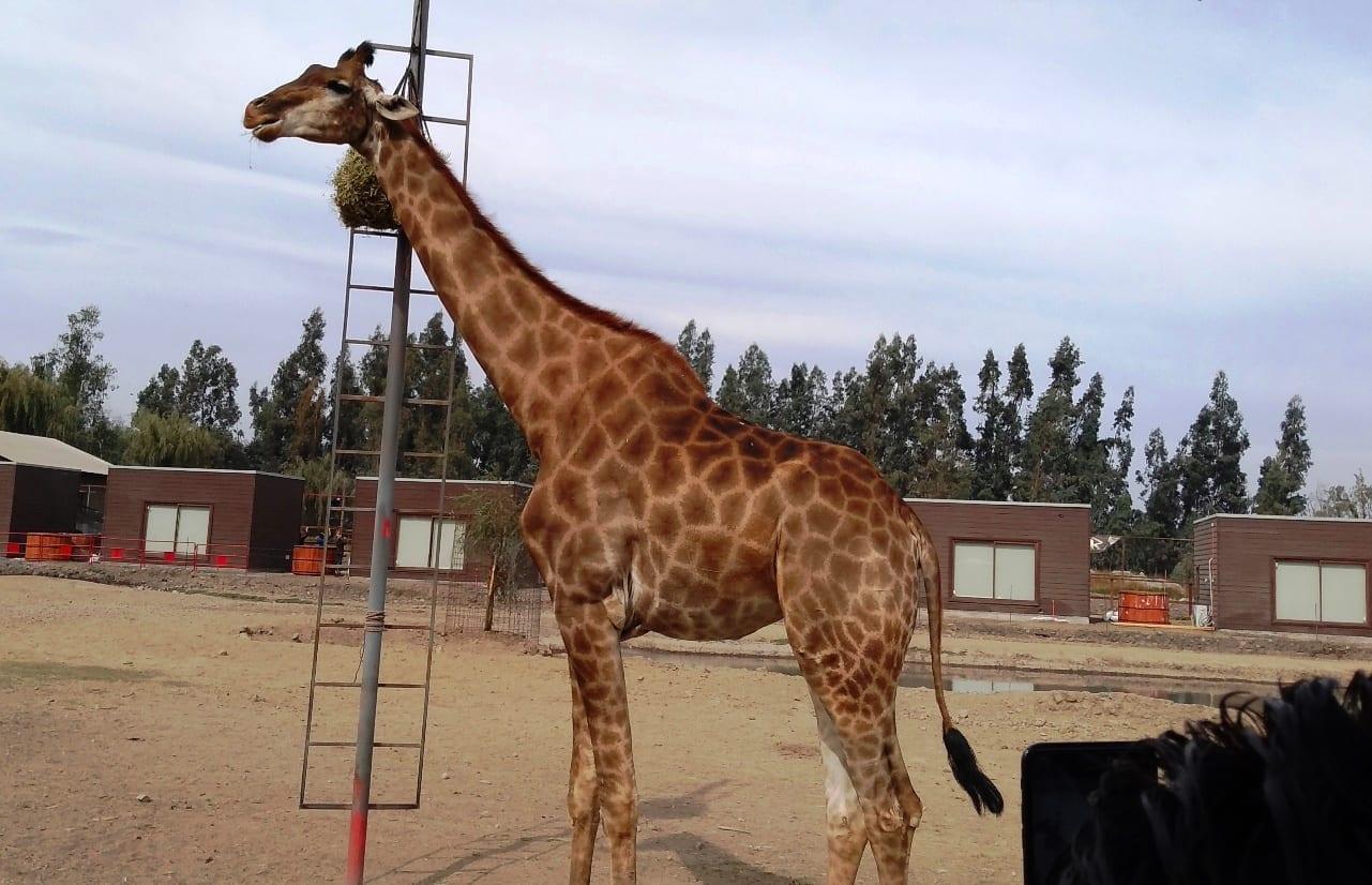Parque Safari Chile, LikeChile, como chegar quanto custa